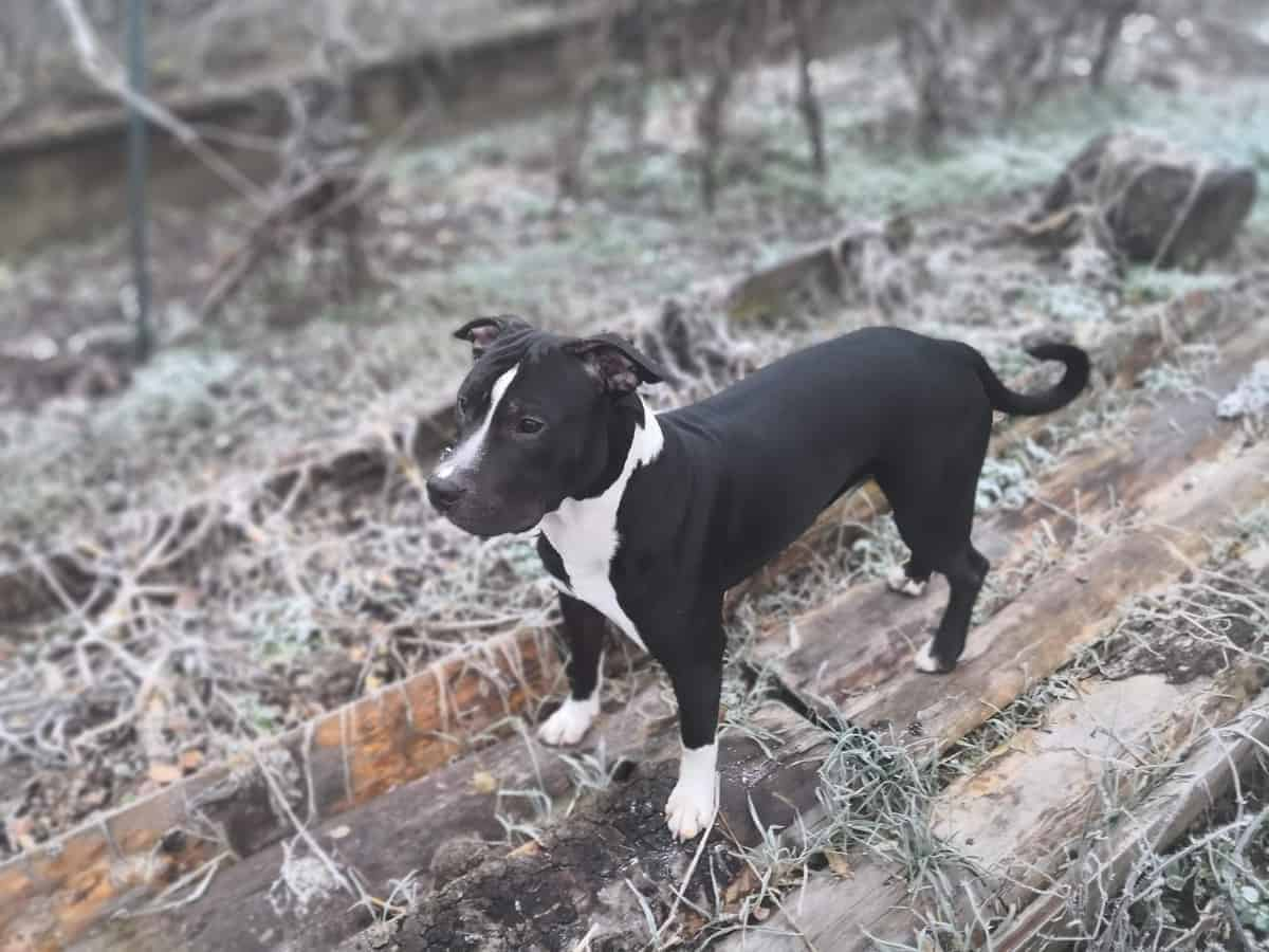 Black and white Pitbull standing on wood