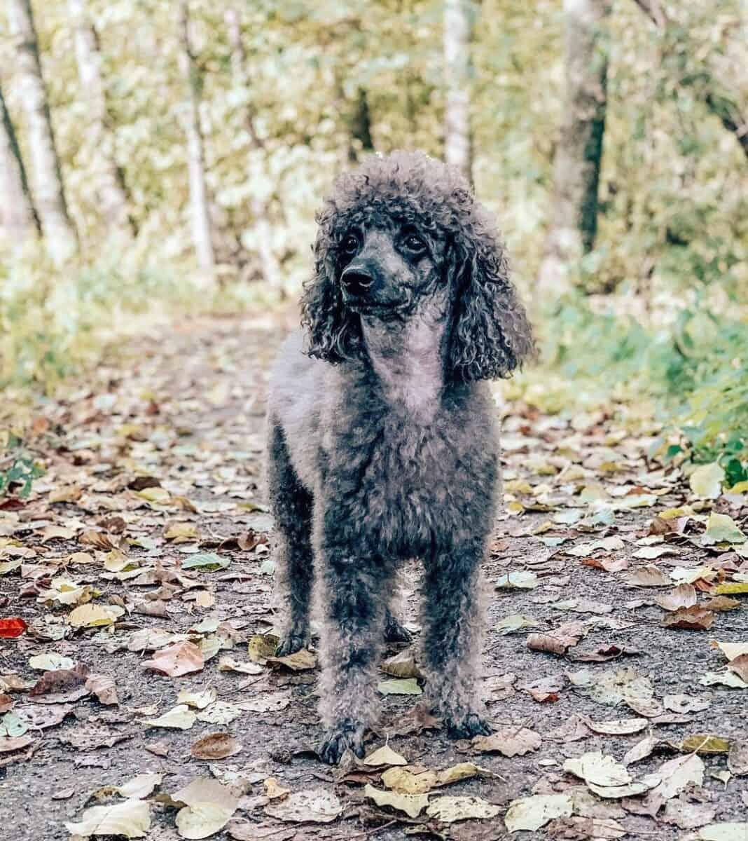 Blue Moyen Poodle