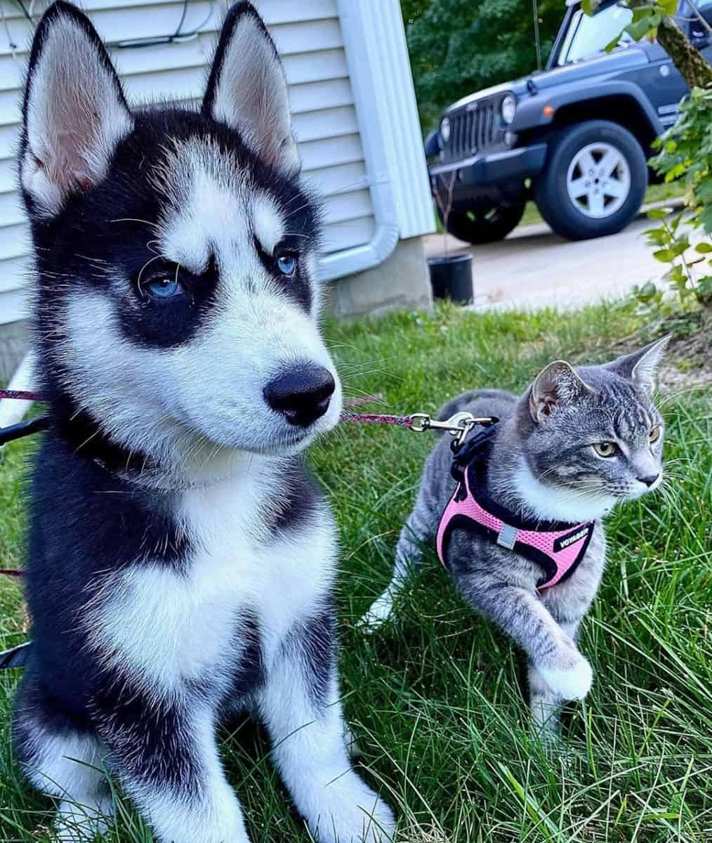 Blue-eyed Husky with a cat