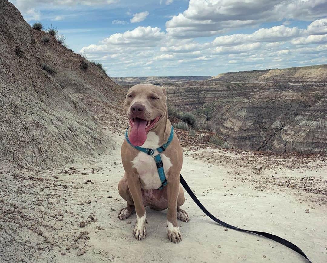 Blue fawn Pitbull hiking