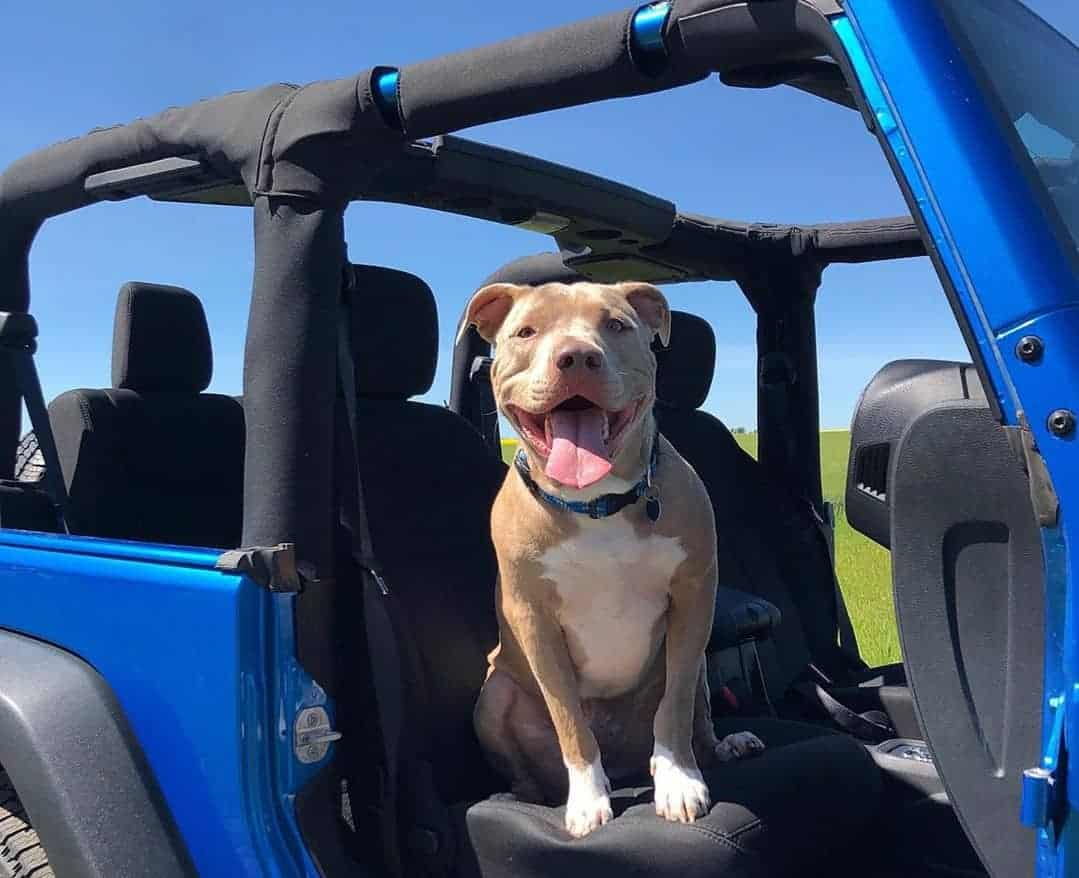Blue fawn Pitbull in a jeep