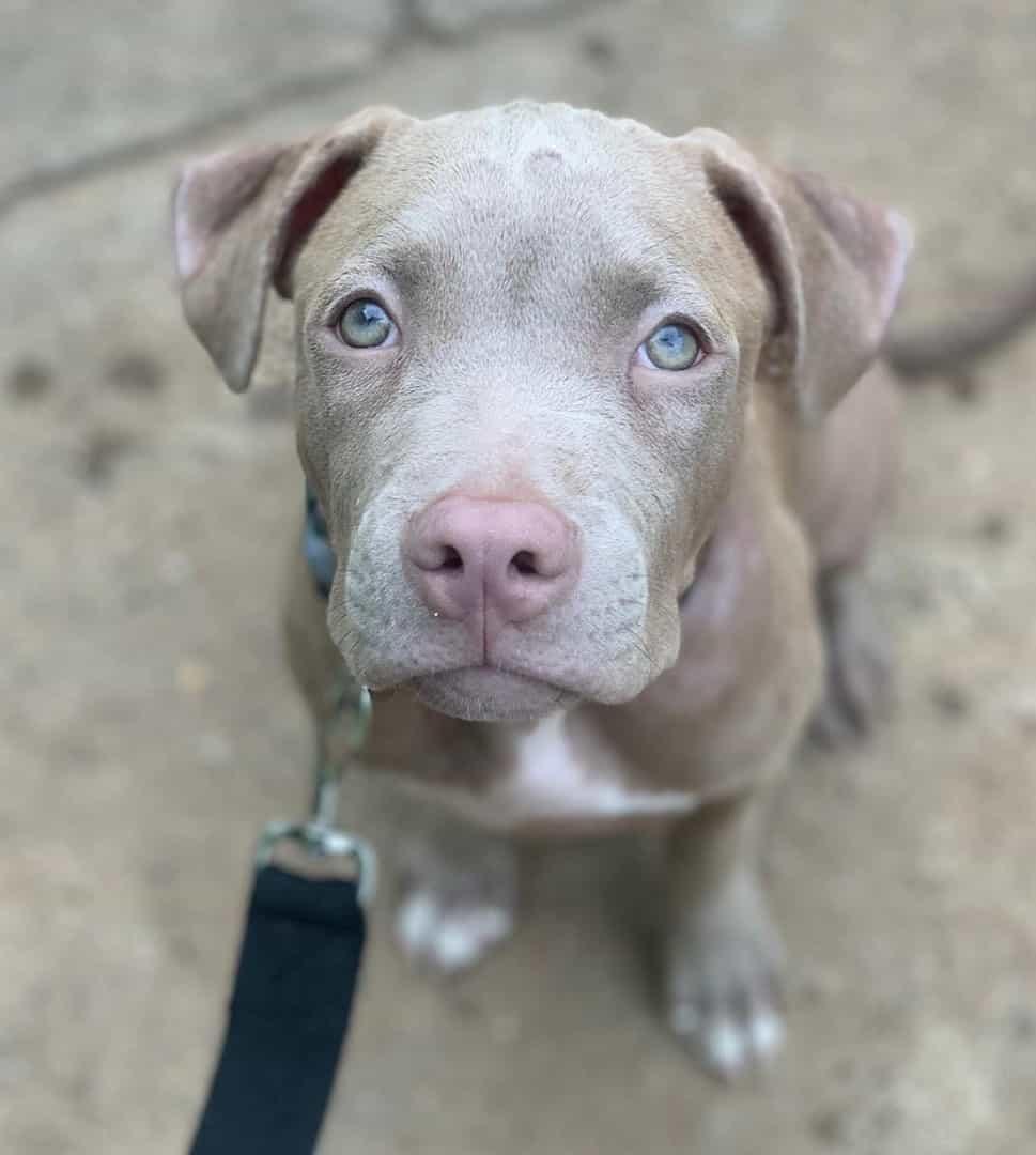 Blue fawn Pitbull looking at the camera