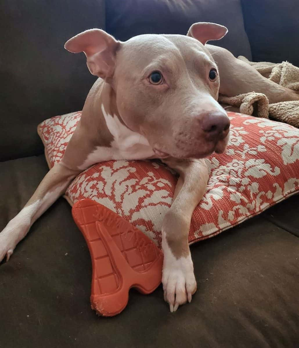 Blue fawn Pitbull lying on the sofa