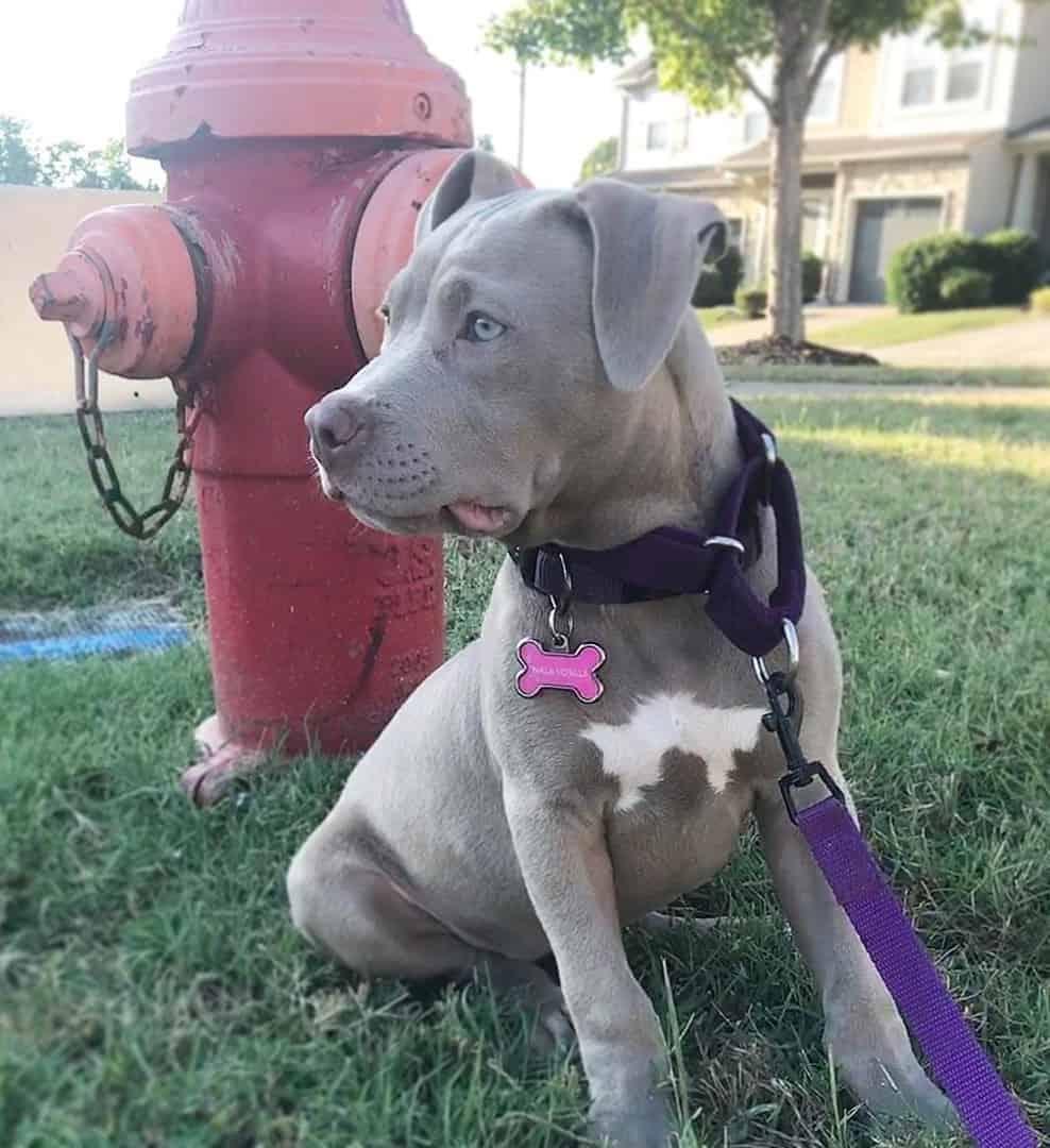 Blue fawn Pitbull sitting beside a fire hydrant