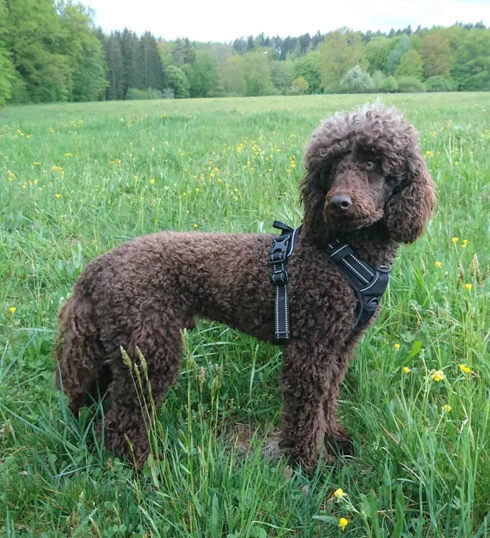 Brown Moyen Poodle
