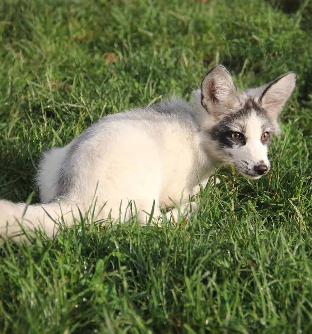 Canadian Marble Fox sitting on grass