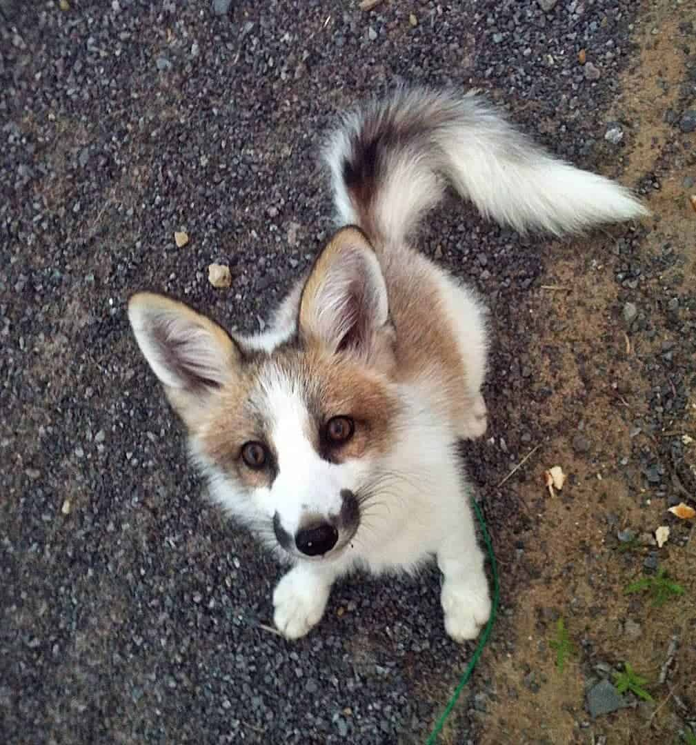 Canadian Marble Fox standing on road