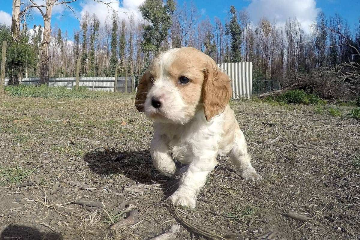 Cavapoo puppy exploring the world