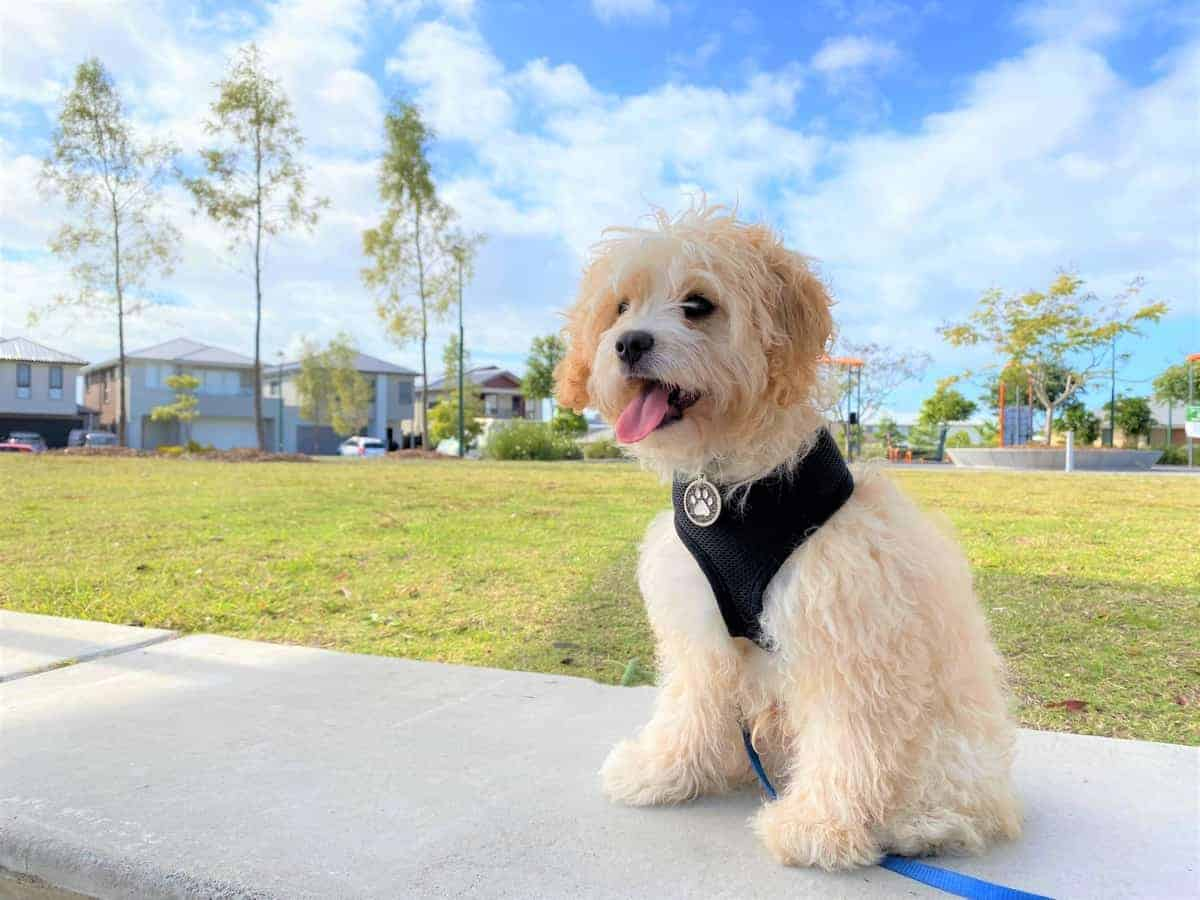 Cavoodle or Cavapoo (Cavalier King Charles Spaniel Poodle mix) enjoying a beautiful day out at the park