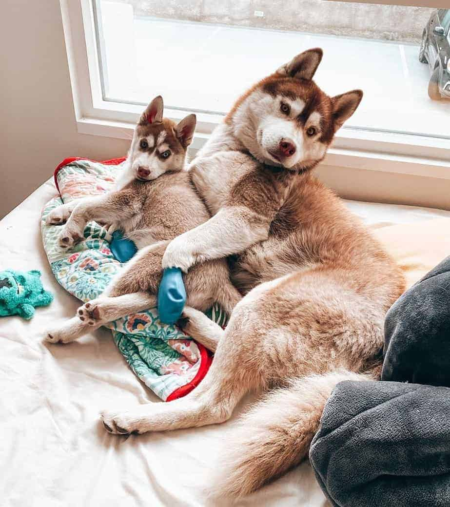 Chocolate brown adult and puppy Huskies