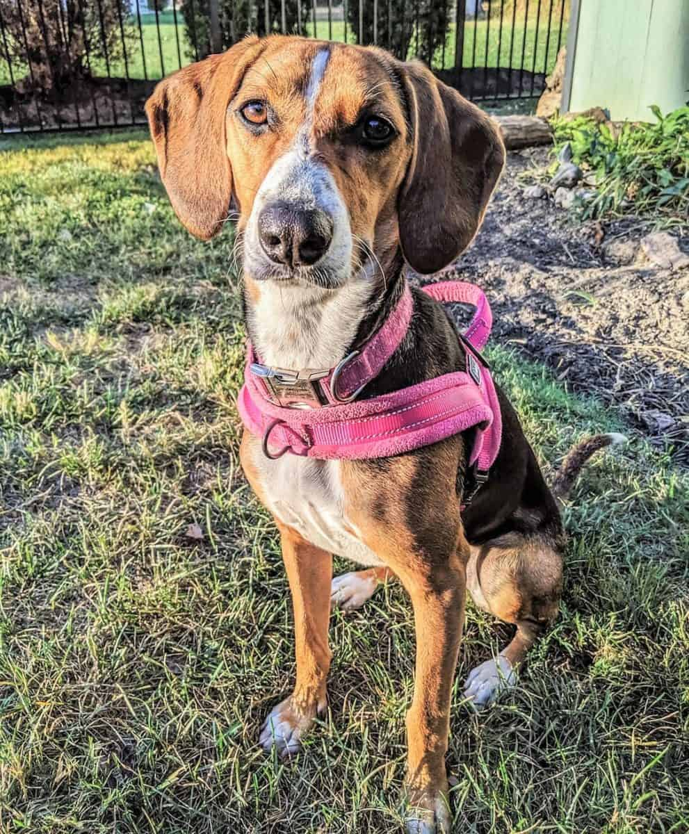 Coonhound Beagle mix in a dog park
