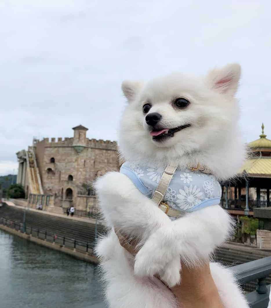 Cute white Pomeranian lifted by his owner