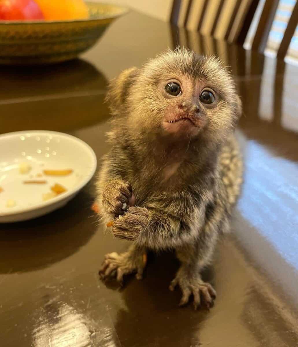 Finger monkey on the table
