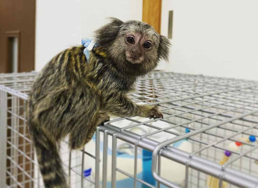 Finger monkey climbs to the top of its cage