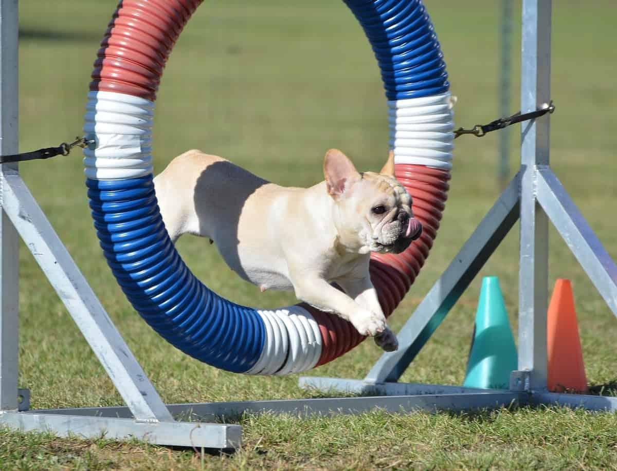 French Bulldog at dog agility trial