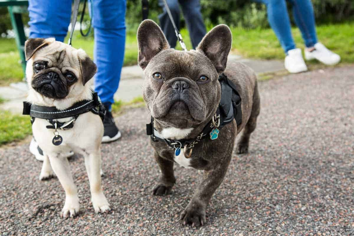 French Bulldog with another dog