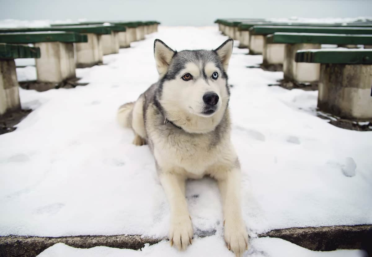 Grey Siberian Husky dog with different eye colors lying outdoors on a snow