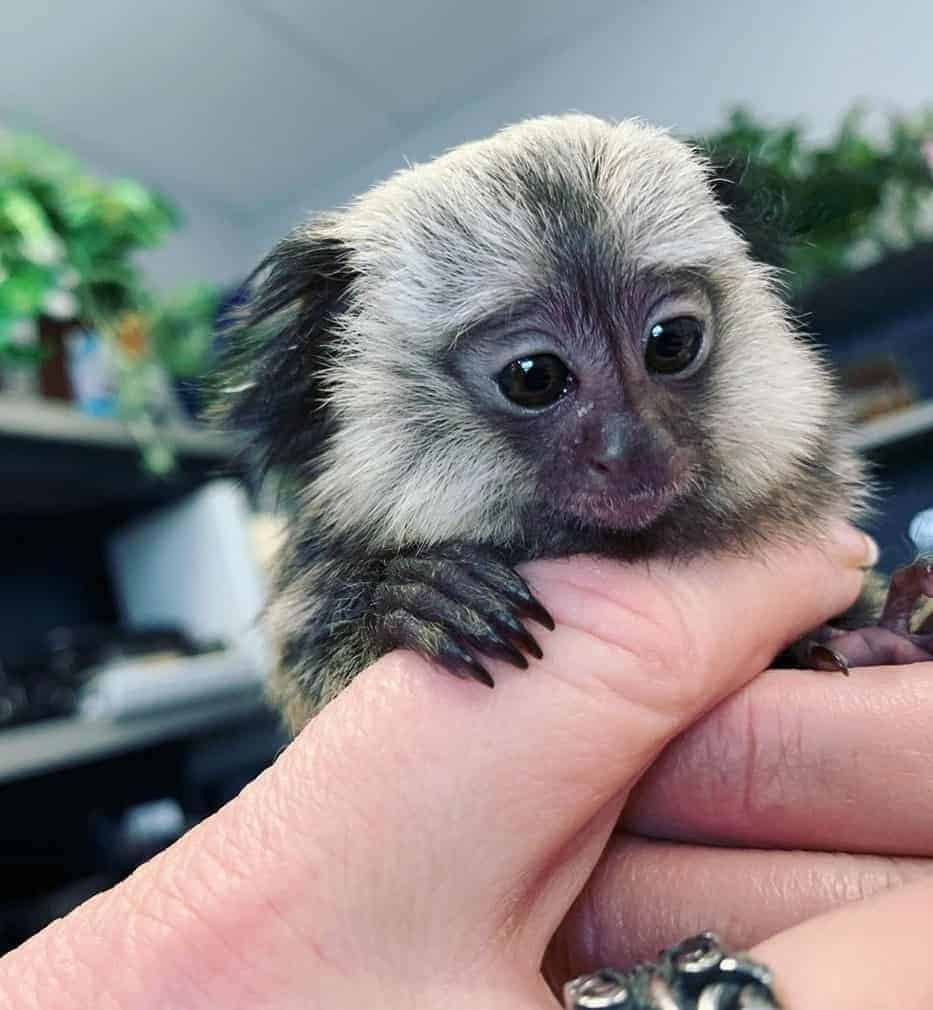 Holding a baby finger monkey with hands