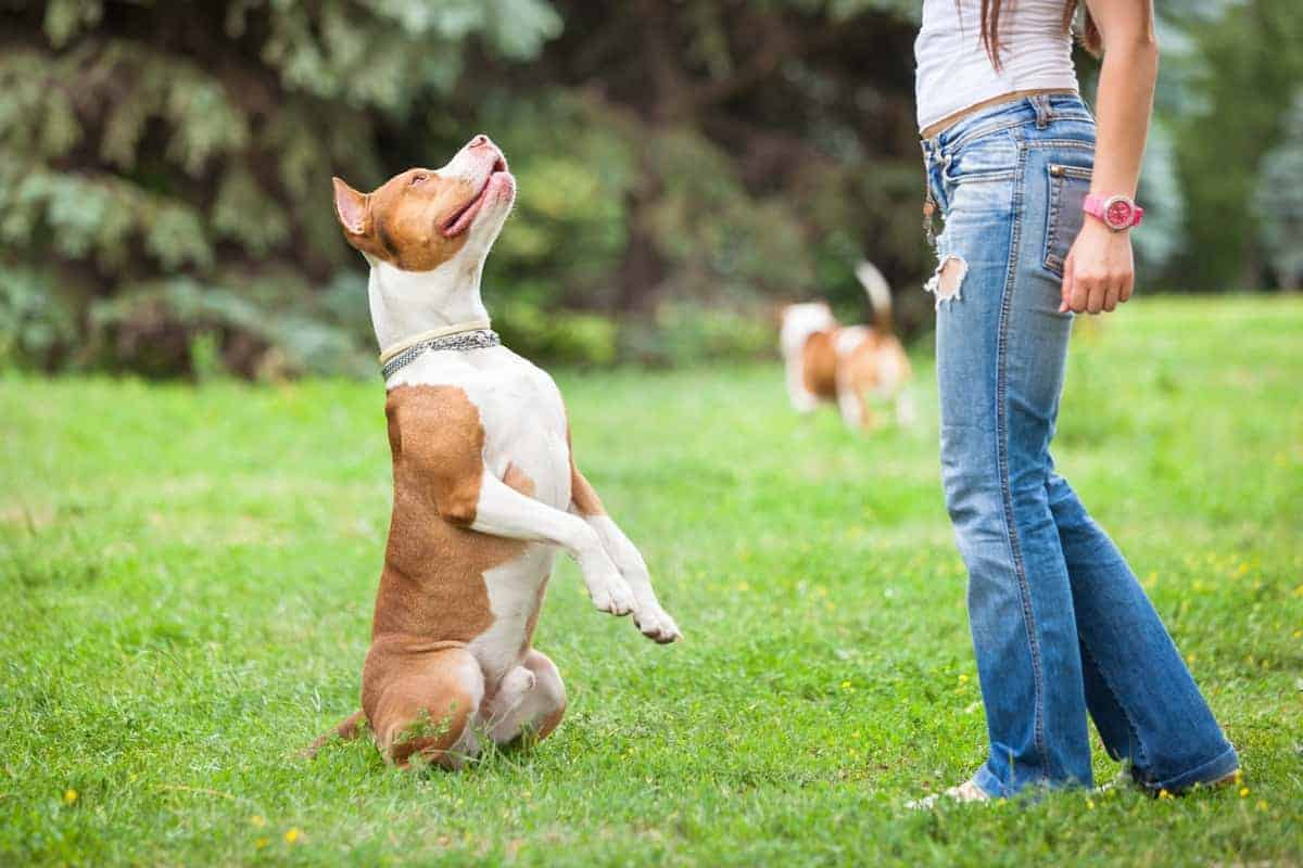 Male Pitbull obedience training
