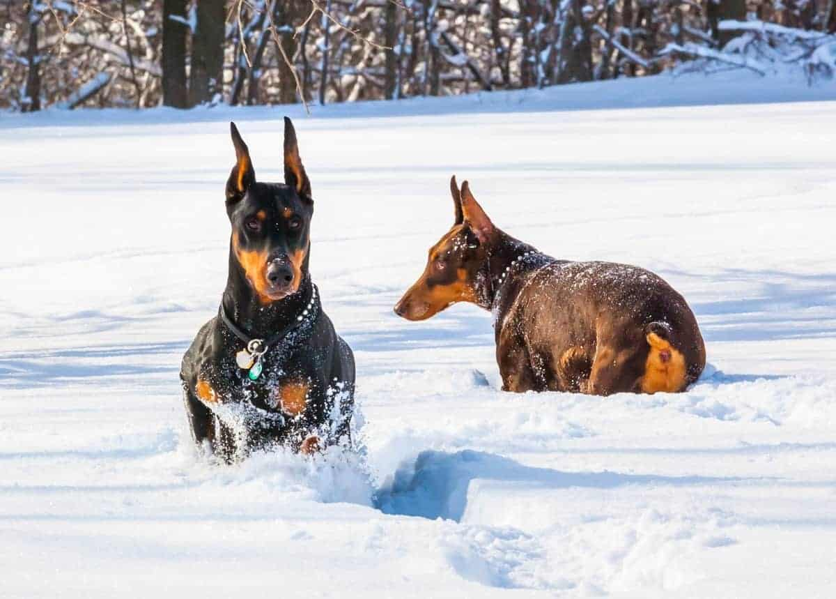 Male and female Dobermans hunting in deep snow