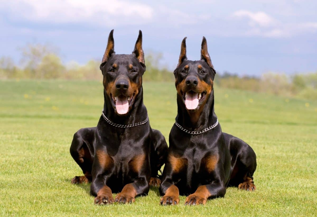 Male and female Dobermans lying on grass