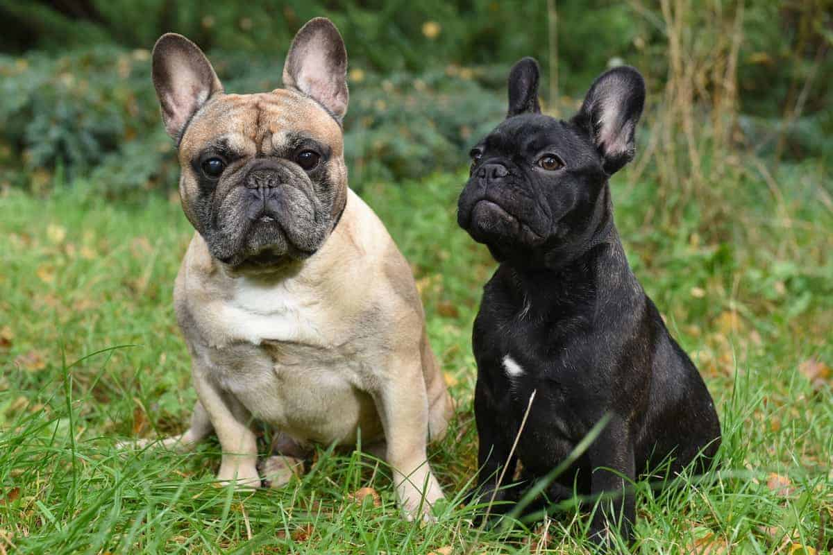 Male and female French Bulldogs sitting on grass