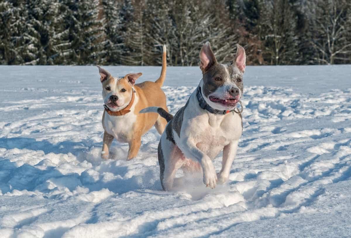 Male and female Pitbulls running on snow