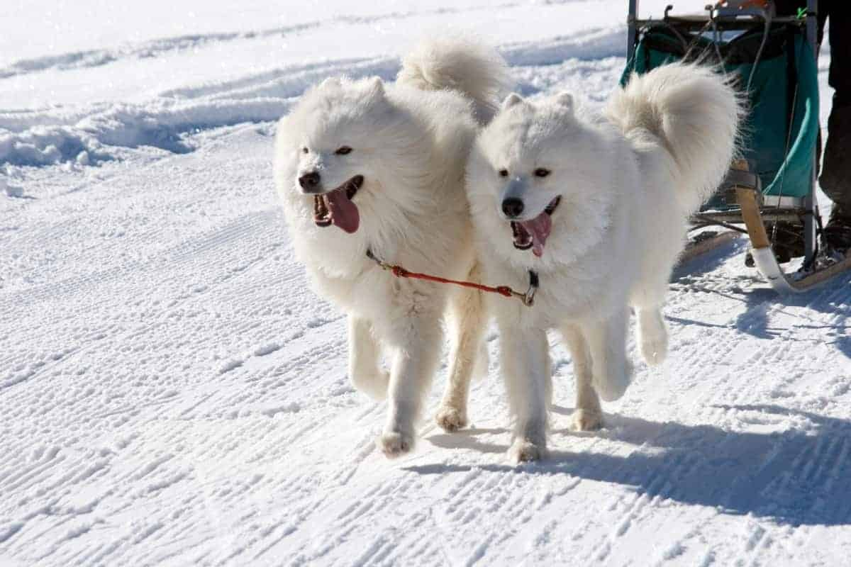 Male and female Samoyeds during winter