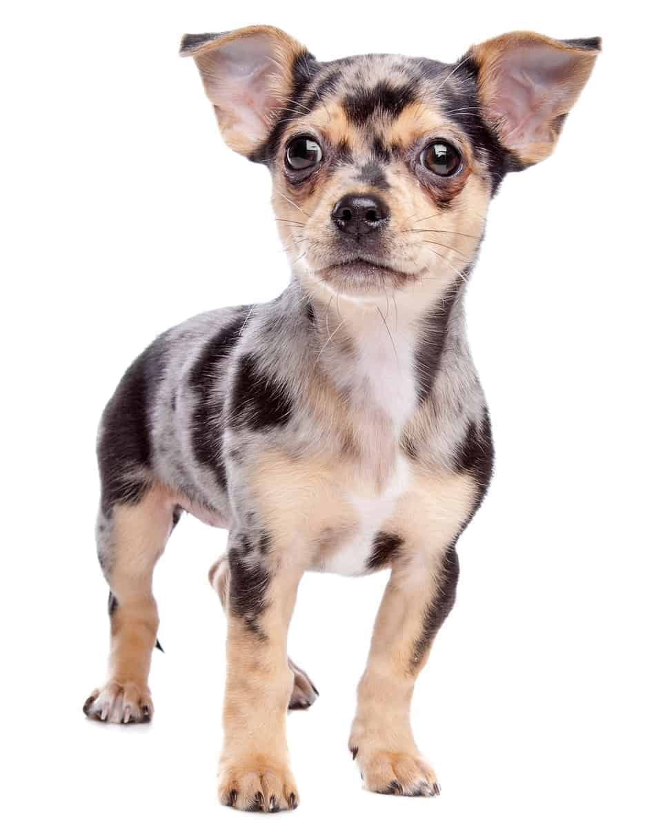 Merle Chihuahua puppy with white background
