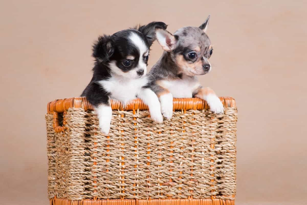 Merle Chihuahua with a black and white Chihuahua