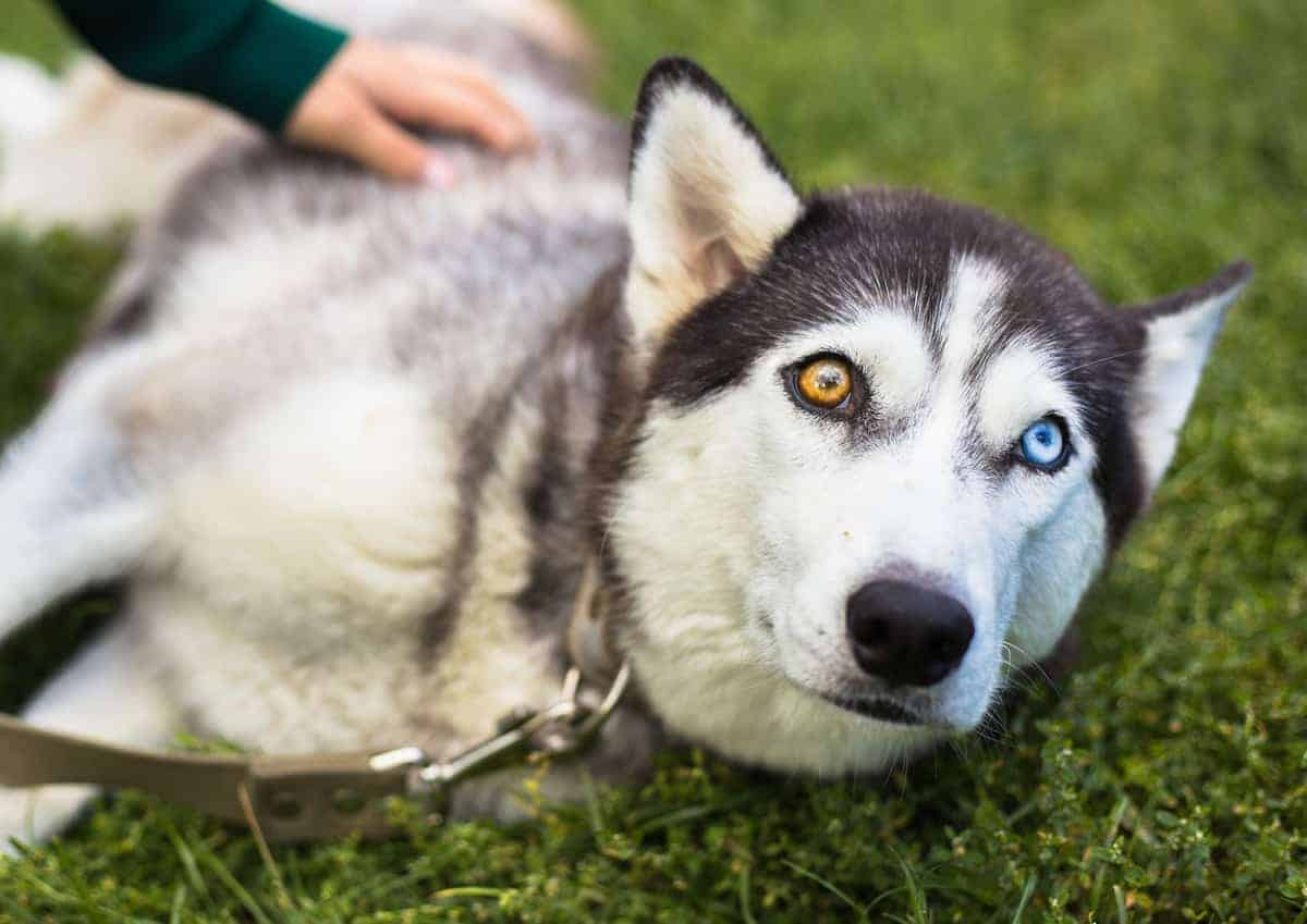 Siberian Husky with an unusual pair of eyes (brown and blue eyes)