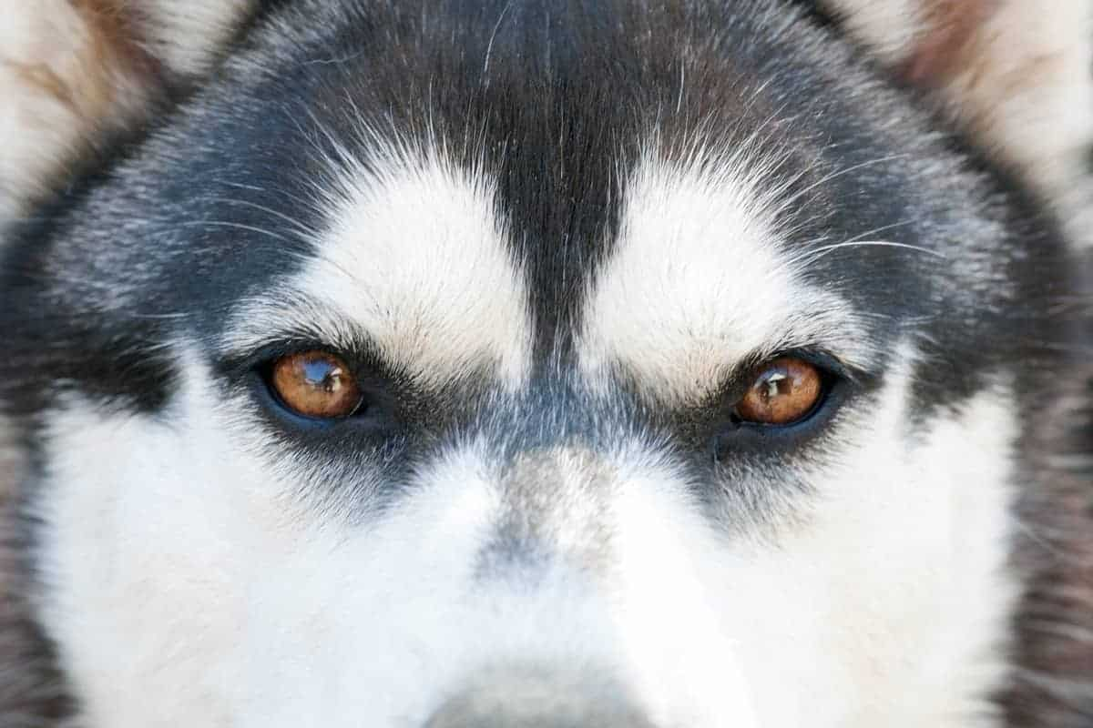 Siberian Husky with brown eyes