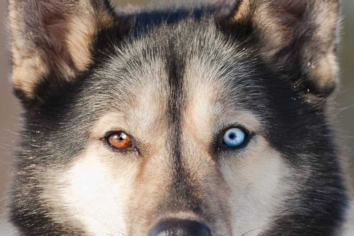 Siberian Husky with different colored eyes