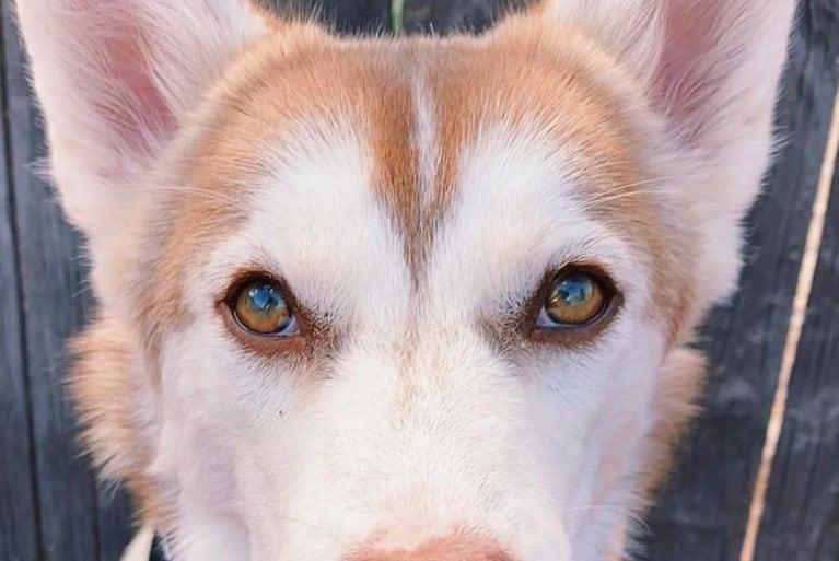 Siberian Husky with green eyes