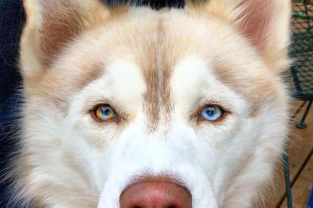 Siberian Husky with parti-colored eyes