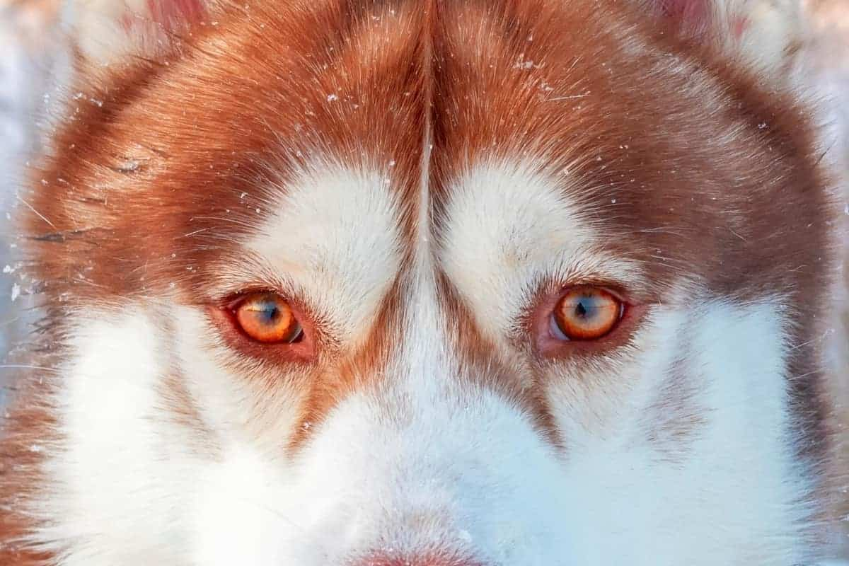 Siberian Husky with red eyes