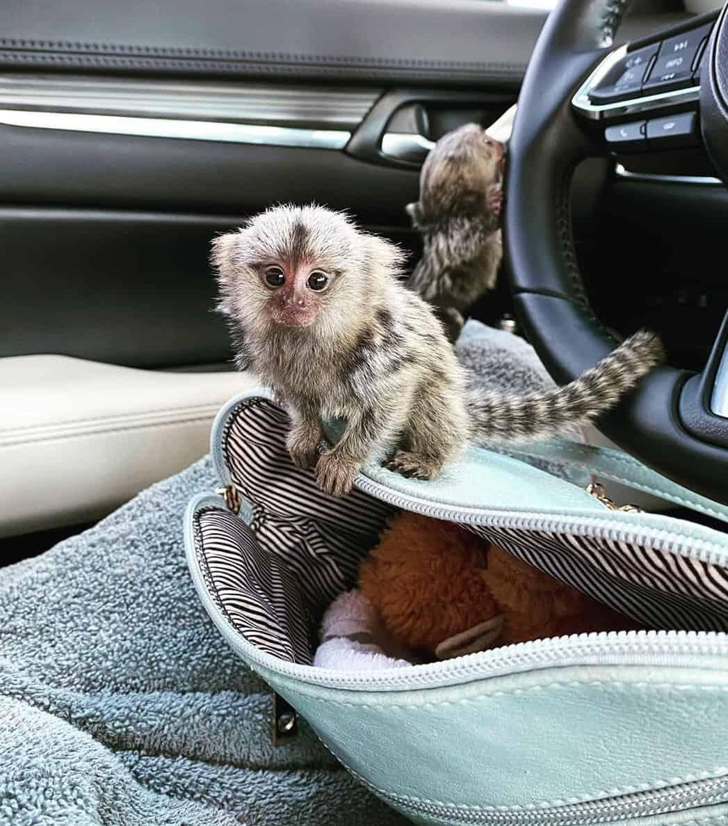 Two cute finger monkeys in a car