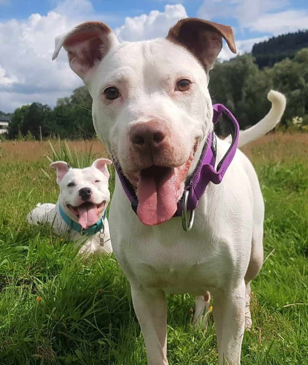 Two white Pitbulls playing together