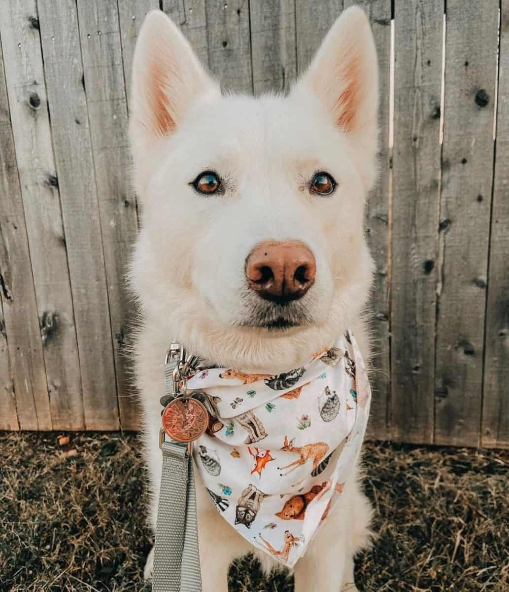White Husky with brown eyes
