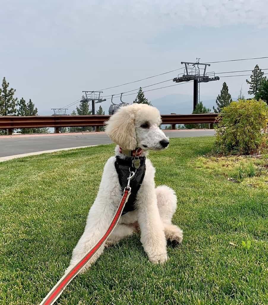 White Moyen Poodle