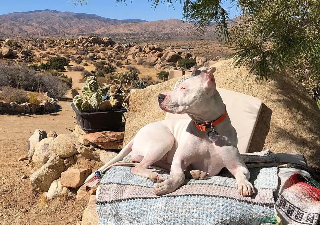 White Pitbull in a desert