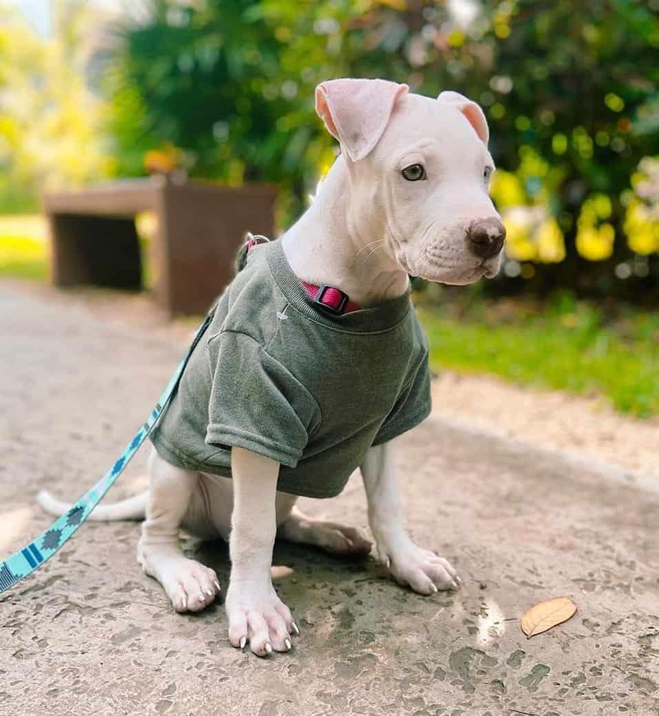 White Pitbull puppy walking on leash