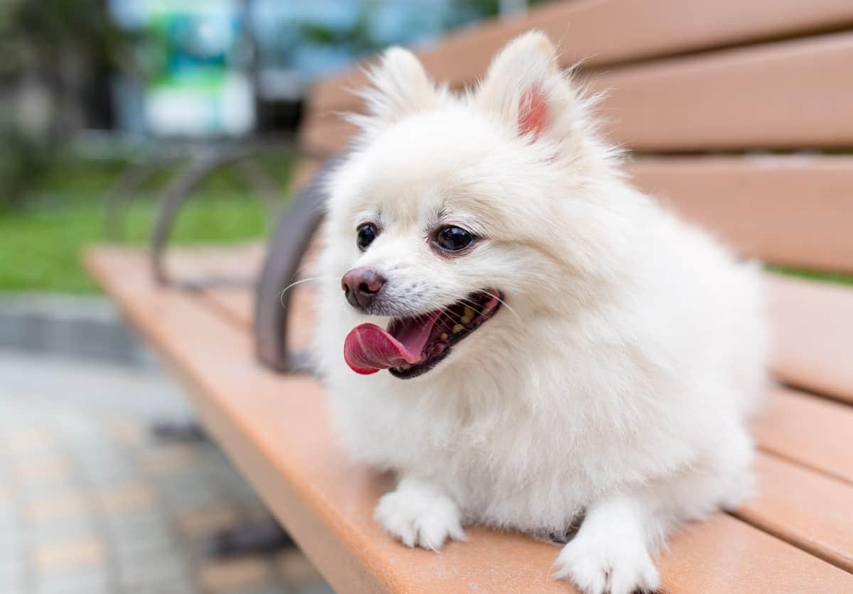 White Pomeranian sitting on a bench