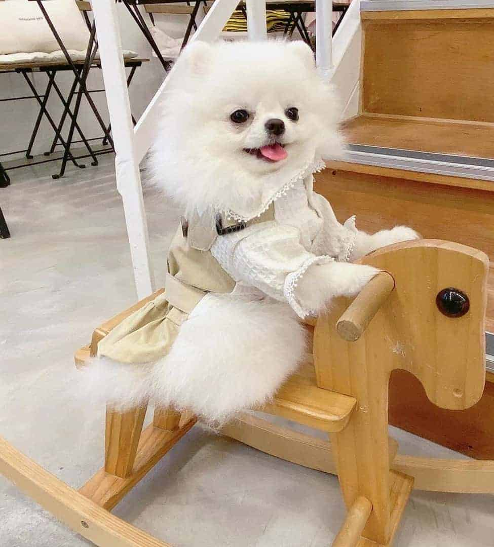 White Pomeranian sitting on a wooden horse