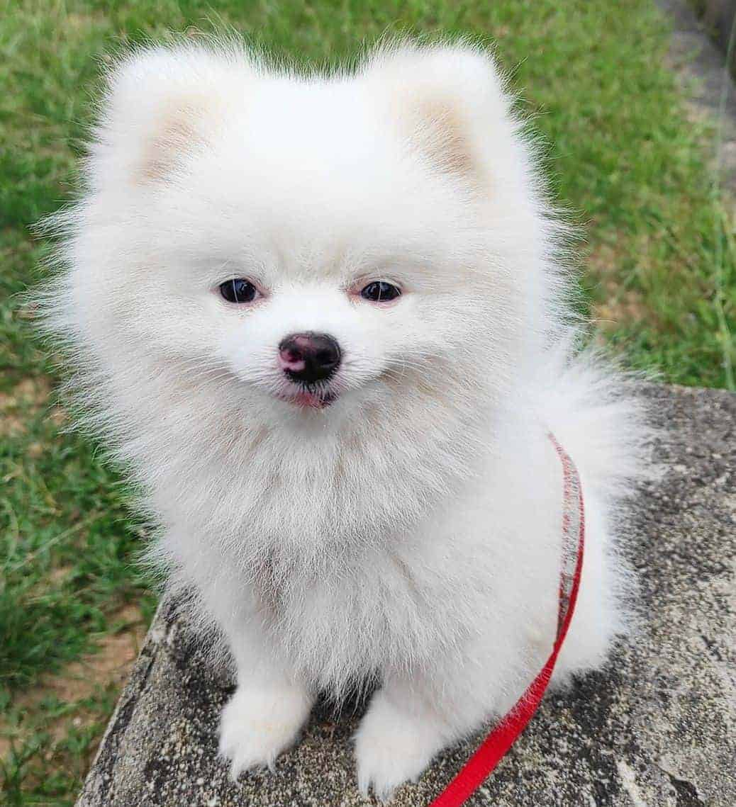 White Pomeranian standing on a stone