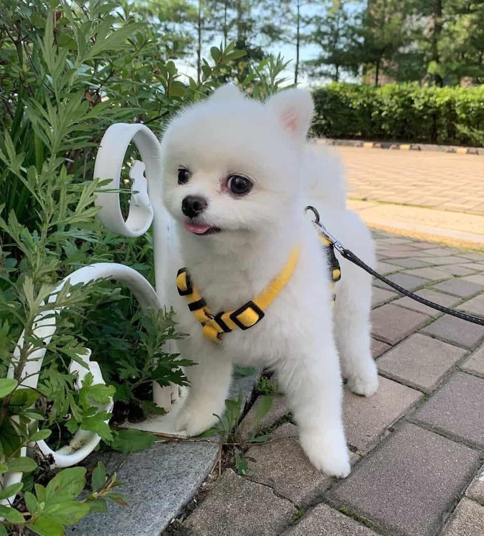 White Pomeranian walking on leash