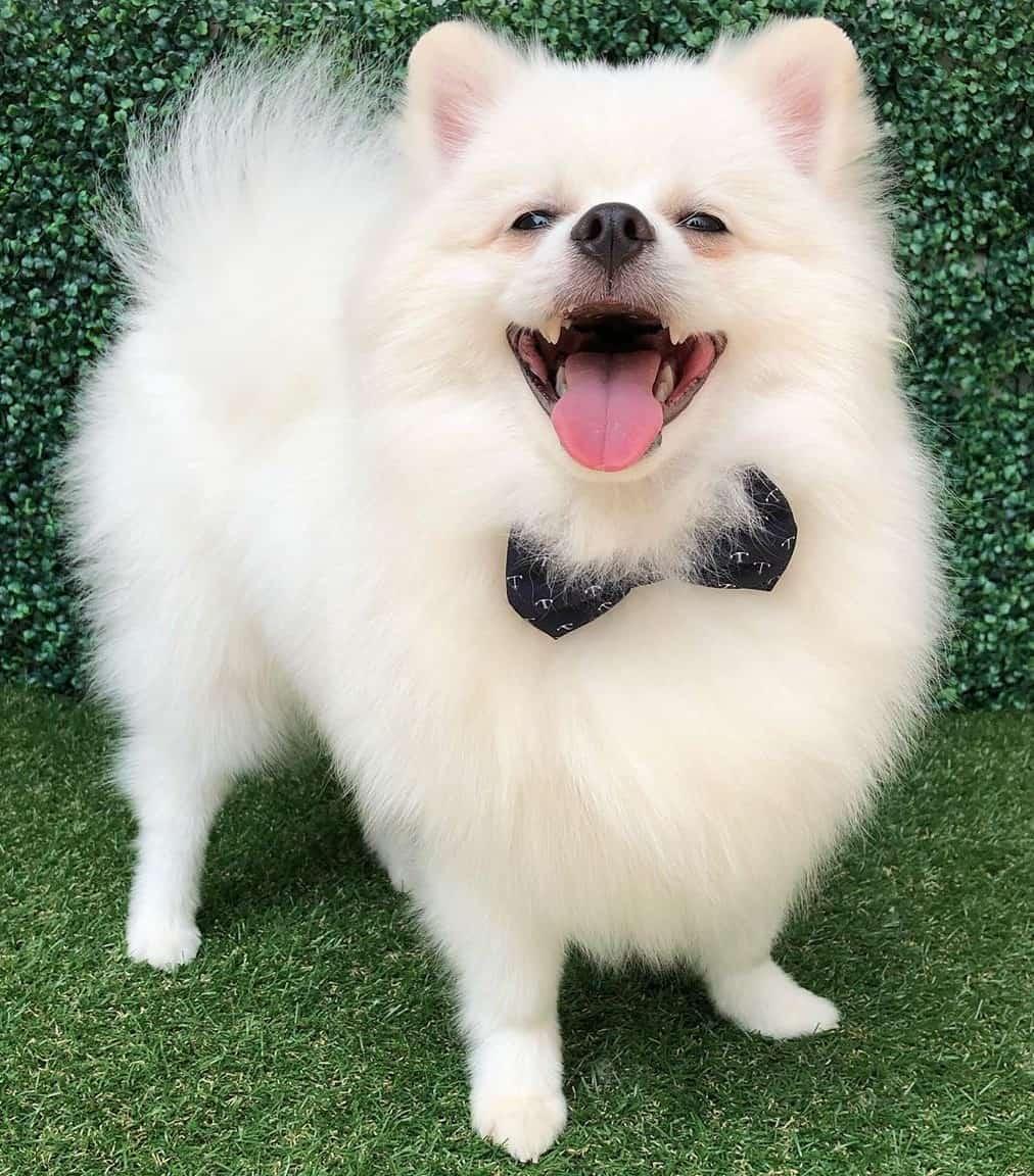 White Pomeranian wearing a bow tie