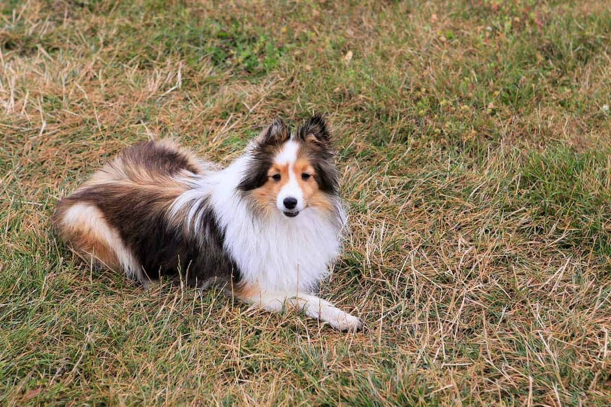 A Miniature Collie laying on the ground