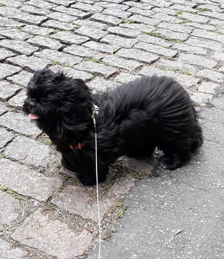 Adult black Shih Tzu walking on leash