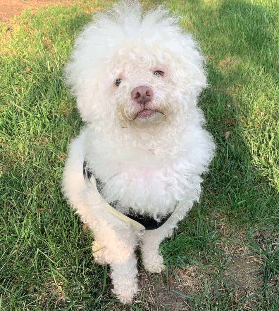 Albino Poodle puppy